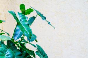Alocasia als kamerplant
