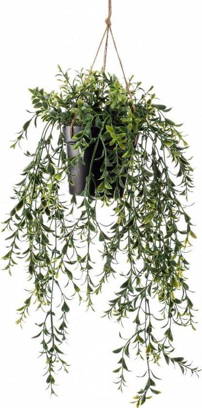 Buxus hangplant