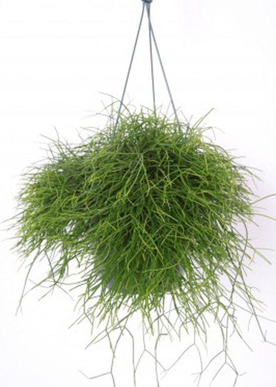 Rhipsalis hangplant