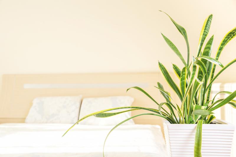 Sansevieria als kamerplant