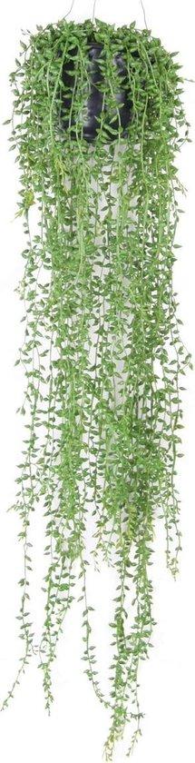 Senecio hangplant