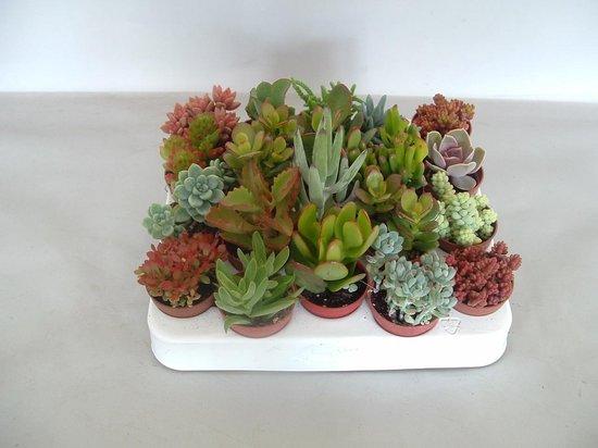 Succulenten vetplanten