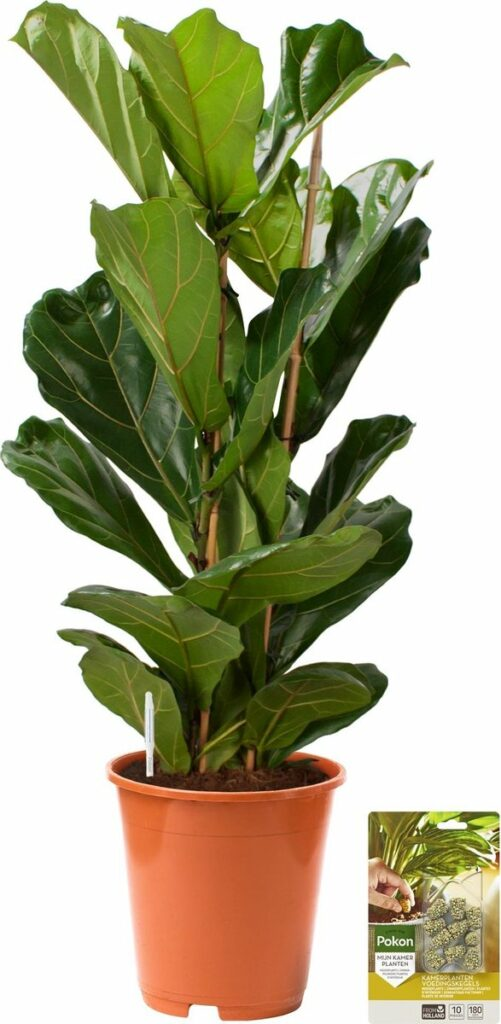 Vioolbladplant