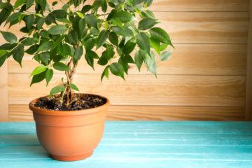 kamerplant ficus benjamina