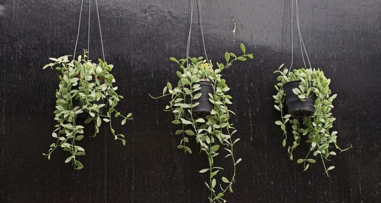 hangplanten in het interieur