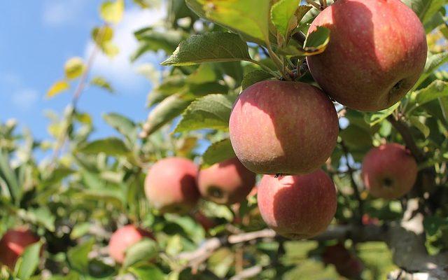 wanneer appels plukken